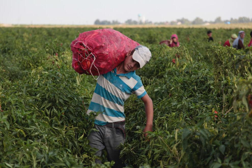 13-vuotias turkkilainen Ibrahim on työskennellyt 10-vuotiaasta lähtien kausityöläisenä maatiloilla perheensä kanssa. Sadonkorjuuaika keskeyttää hänen koulunkäyntinsä 5-6 kuukaudeksi. © UNICEF/UN0153927/Feyizoglu
